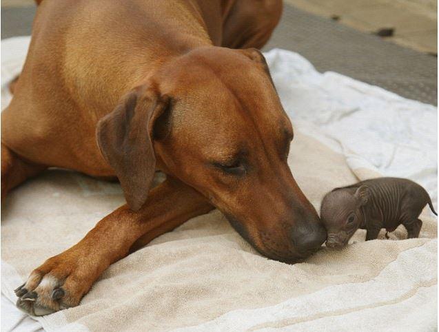 Dog Baby pig 2